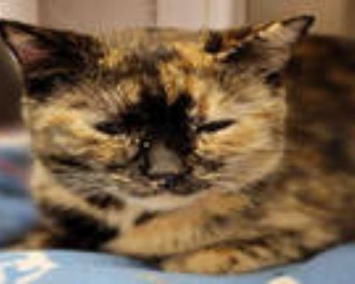Adopt CATUCCINO a Tortoiseshell Domestic Shorthair / Mixed (short coat) cat in