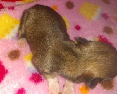 Chihuahua Apple Heads Long Coats AKC
