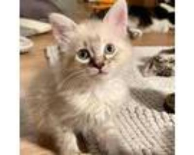 Adopt Velvet a White (Mostly) Siamese / Mixed cat in Los Angeles, CA (32099094)