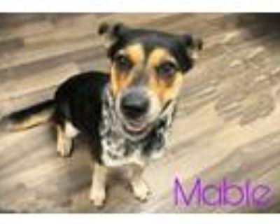 Adopt Mable a Australian Shepherd, Australian Cattle Dog / Blue Heeler