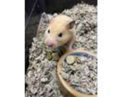 Adopt Cynthia a Tan or Beige Hamster / Hamster / Mixed small animal in Lowell