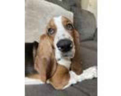 Adopt Max a Tricolor (Tan/Brown & Black & White) Basset Hound / Mixed dog in