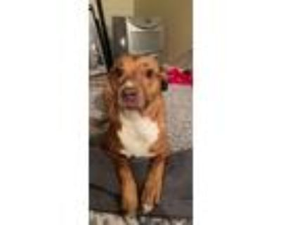 Adopt Chance a Red/Golden/Orange/Chestnut - with White American Pit Bull Terrier