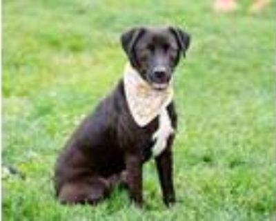 Adopt Bella a Black Labrador Retriever / Mixed dog in West Chester