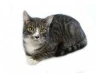 Adopt Freddie a Gray, Blue or Silver Tabby Domestic Shorthair / Mixed (short