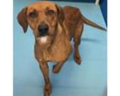 Adopt Honey a Red/Golden/Orange/Chestnut Hound (Unknown Type) / Mixed dog in