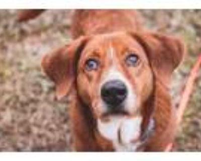 Adopt Huck a Red/Golden/Orange/Chestnut Basset Hound / Mixed dog in Fort Worth