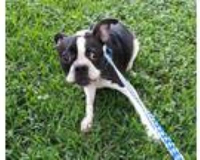 Adopt JADE a Black - with White Boston Terrier / Mixed dog in Houston