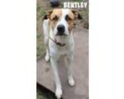 Adopt Bentley a Great Pyrenees, Mixed Breed