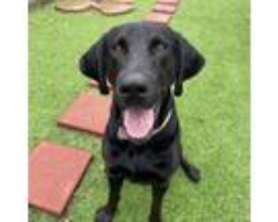 Adopt Onyx a Black Labrador Retriever, Mixed Breed