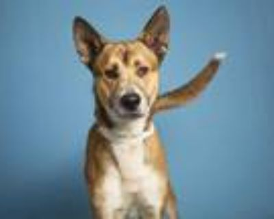 Adopt THORIN a Brown/Chocolate - with Black German Shepherd Dog / Mixed dog in