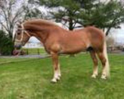 Haflinger Stallion Service