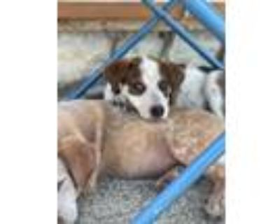 Adopt Cookie Monster a Brown/Chocolate - with White Blue Heeler dog in Denver