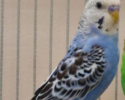 Male Parakeet - Other named Gary available for adoption