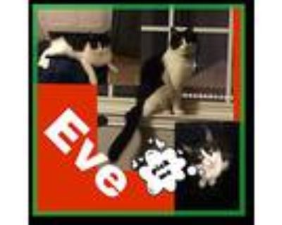 Eve, Domestic Mediumhair For Adoption In Fort Worth, Texas