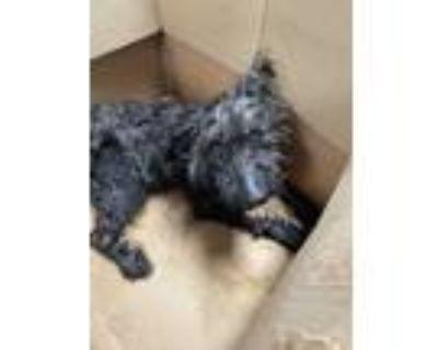 Adopt 48261641 a Black Schnauzer (Standard) / Mixed dog in Fort Worth
