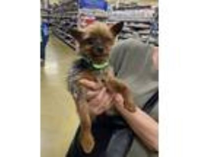 Adopt Sparkle a Yorkshire Terrier