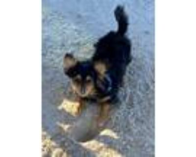 Adopt Juno a Black - with Tan, Yellow or Fawn Papillon / Mixed dog in