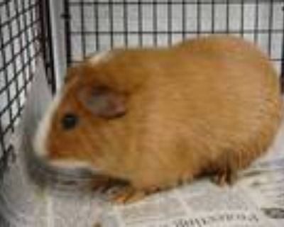 Adopt AC/DC a Brown or Chocolate Guinea Pig / Mixed small animal in Van Nuys