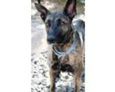 Adopt Shatzy a Brindle Dutch Shepherd / Mixed dog in Cheyenne, WY (32038687)