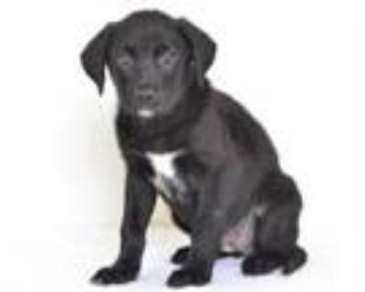 Adopt A591032 a Labrador Retriever, Mixed Breed