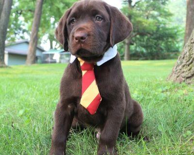 Labrador Retrievers Chocolate