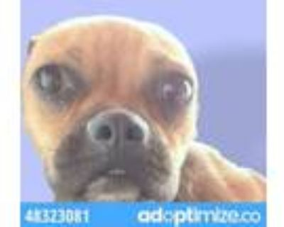 Adopt 48323081 a Boston Terrier, Mixed Breed