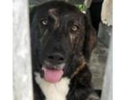 Adopt Tango a Brindle Plott Hound / Mixed dog in Jefferson City, TN (31265573)