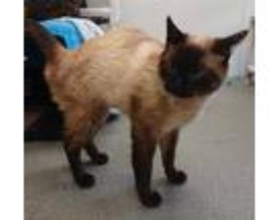 Adopt OLIVE a Brown or Chocolate (Mostly) Siamese / Mixed (short coat) cat in
