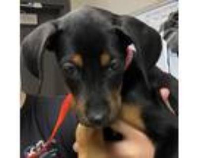 Adopt Rosalinda a Black Doberman Pinscher / Rottweiler / Mixed dog in Yuma