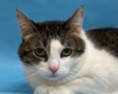 Adopt Pawlee a Domestic Short Hair