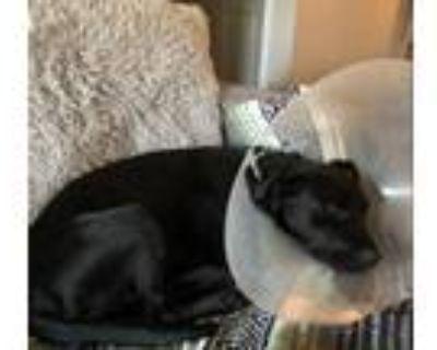 Adopt LOLA a Black Labrador Retriever / Mixed dog in San Antonio, TX (32063979)