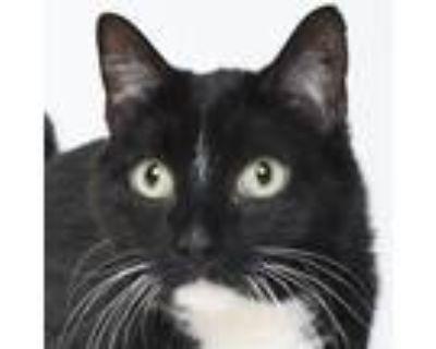 Adopt Darjeeling a Domestic Short Hair