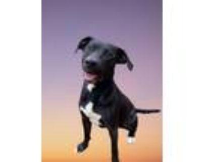 Adopt Cooper a Black Labrador Retriever dog in Douglasville, GA (30866114)