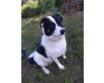 Adopt Dottie a White - with Black Great Pyrenees / Australian Cattle Dog / Mixed