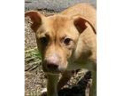 Adopt Vito a Husky, Pit Bull Terrier