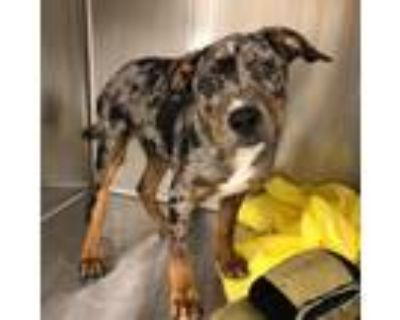 Adopt Theo a Gray/Blue/Silver/Salt & Pepper Catahoula Leopard Dog / Mixed dog in