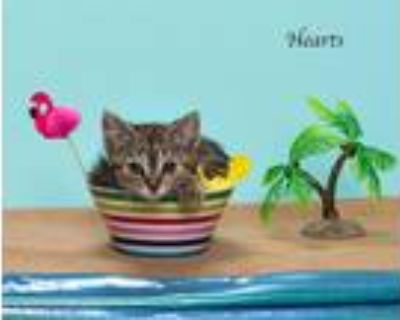 Adopt Hearts a Domestic Mediumhair / Mixed (short coat) cat in San Jacinto