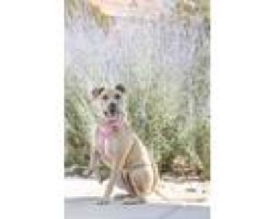 Adopt Roxy a American Pit Bull Terrier / Shepherd (Unknown Type) / Mixed dog in