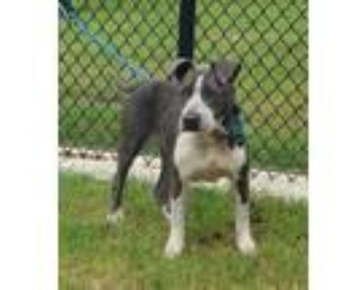 Adopt Raven a Pit Bull Terrier / Mixed dog in LAFAYETTE, LA (32067027)