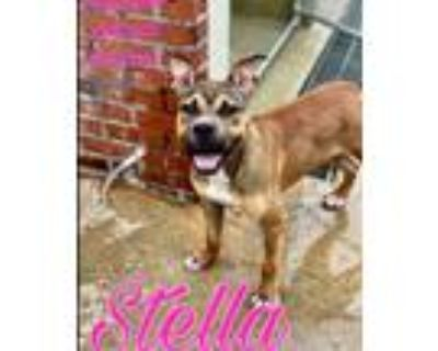Adopt Stella in Hopewell VA a Brown/Chocolate Boxer / Mixed dog in Richmond