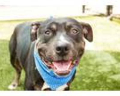 Adopt Gingham a Black American Pit Bull Terrier / Mixed dog in Kansas City