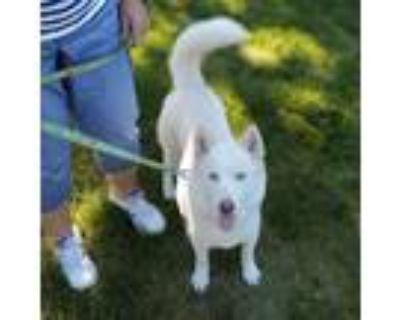 Adopt Posey a Tan/Yellow/Fawn Siberian Husky / Mixed dog in Carol Stream