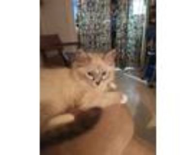 Adopt Fluffy a Cream or Ivory (Mostly) Siamese / Mixed (medium coat) cat in