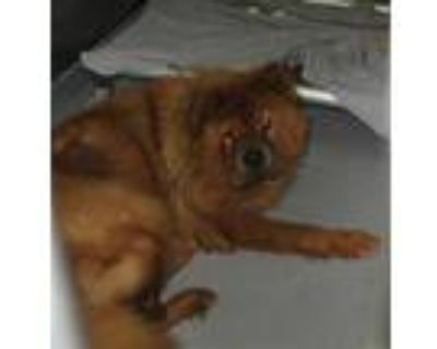 Adopt MISSY a Red/Golden/Orange/Chestnut Chow Chow / Mixed dog in Norfolk