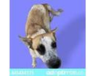 Adopt Scout a White Blue Heeler / Mixed dog in El Paso, TX (31164297)