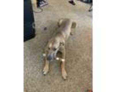 Adopt Blade a Tan/Yellow/Fawn Great Dane / Mixed dog in Overland Park