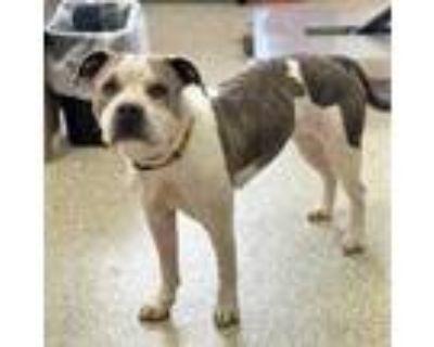 Adopt Quinn a White American Pit Bull Terrier / Mixed dog in Washington