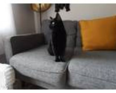 Adopt Shadow a All Black Domestic Shorthair / Mixed (short coat) cat in