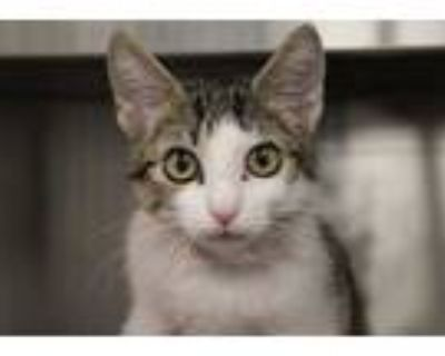 Adopt BUBBLES* a White (Mostly) Domestic Shorthair / Mixed (short coat) cat in